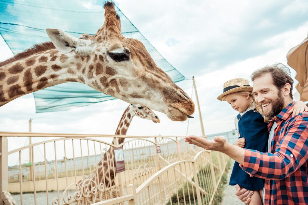 father and little daughter looking at reticulated giraffe in zoo